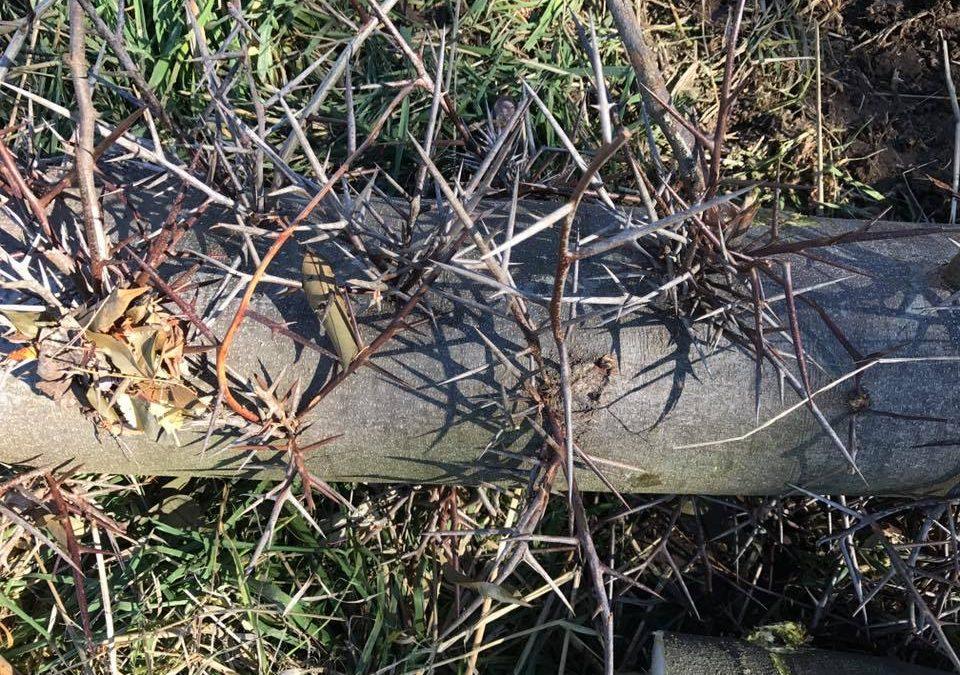Removal Of Black Locus Trees Mudgee